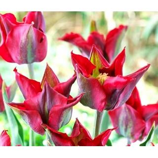 Tulipan Omnyacc - opak. 5 szt.