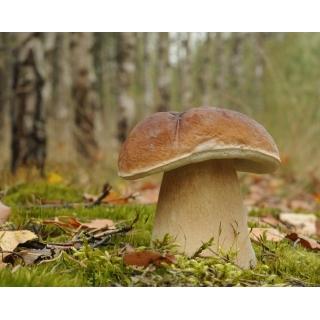 Borowik szlachetny, Prawdziwek, Borowik zwyczajny – żywa grzybnia – większe opakowanie
