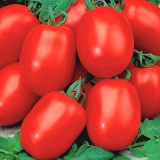 Pomidor Awizo - gruntowy, karłowy, wczesny, bardzo plenny, najbardziej odporny na zarazę ziemniaka