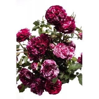 Róża wielkokwiatowa/rabatowa biała z bordowym nakrapianiem - sadzonka