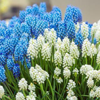 Zestaw szafirków w kolorach białym i niebieskim - 60 szt.