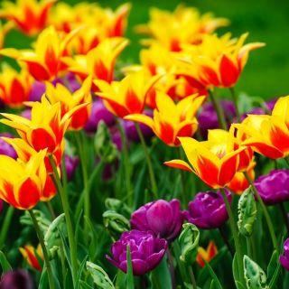 Zestaw tulipanów - pełny i liliokształtny - 40 szt.