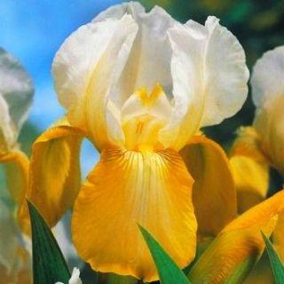 Kosaciec, Irys - White and Yellow