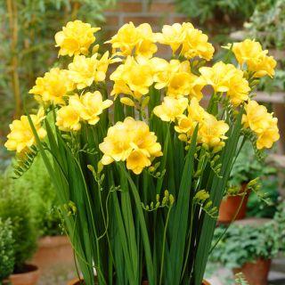 Frezja pojedyncza żółta - Yellow - 10 szt.