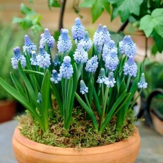 Szafirek błękitny - Muscari azureum - op. 10 szt.
