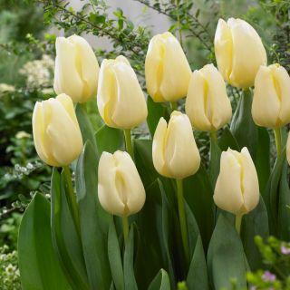 Tulipan Cheers - opak. 5 szt.
