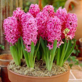 Hiacynt Pink Pearl - op. 3 szt.