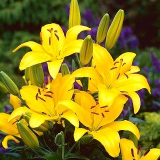 Lilia azjatycka żółta - Yellow