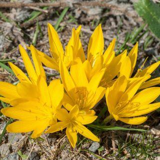 Sternbergia - Żółty zimowit - 1 szt.