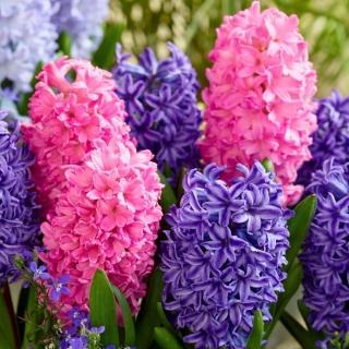 Zestaw hiacyntów - niebieski i różowy - 24 szt.