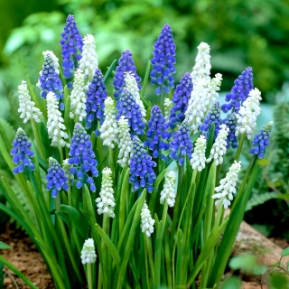 Szafirek - Muscari - kompozycja biało-niebieska - 50 szt.
