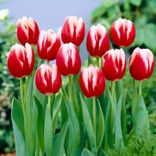 Tulipan Leen van der Mark - opak. 5 szt.