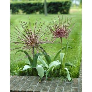 Czosnek ozdobny Szuberta - Allium Schubertii