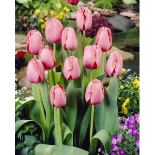 Tulipan Pink Impression - 5 szt.