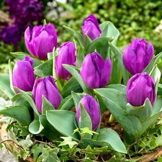 Tulipan Baby Blue - opak. 5 szt.