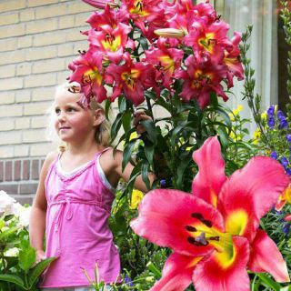 Lilia drzewiasta - Satisfaction