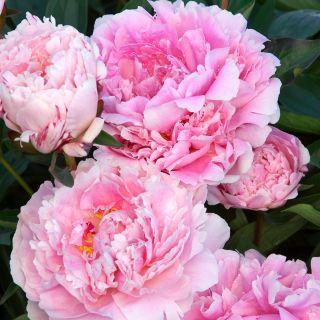 Piwonia, Paeonia - Sarah Bernhardt - sadzonka