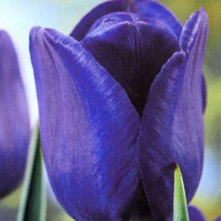 Tulipan niebieski - Blue - duża paczka! - 50 szt.