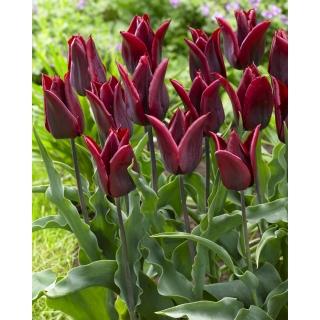 Tulipan Lasting Love - opak. 5 szt.