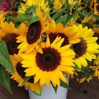 Słonecznik ozdobny Amor - średnio-wysoki