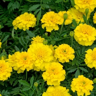 Aksamitka Honey Moon - rozpierzchła, żółta