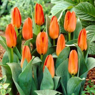 Tulipan niski pomarańczowy - Greigii orange - 5 szt.