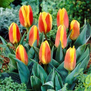 Tulipan niski czerwono-żółty - Greigii red-yellow - 5 szt.