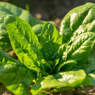 Mini ogród - Szpinak na cięte listki - do uprawy na balkonach i tarasach