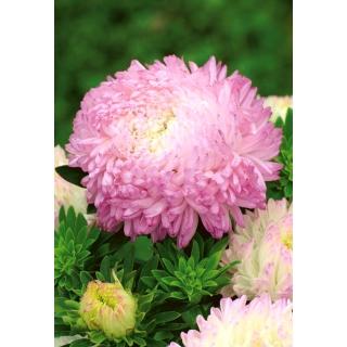 Aster peoniowy Anielka - biało-różowy