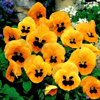 Bratek wielkokwiatowy - pomarańczowy z czarną plamą Orange mit Auge