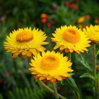 Kocanka ogrodowa, Nieśmiertelnik żółta