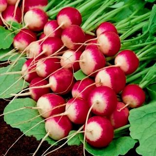 Rzodkiewka Polina - średniowczesna, polecana do uprawy w gruncie i pod osłonami
