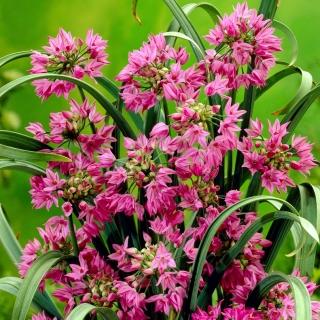 Czosnek kazachstański - Allium oreophilum - 20 szt.