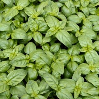 BIO Bazylia Italiano Classico - Certyfikowane nasiona ekologiczne