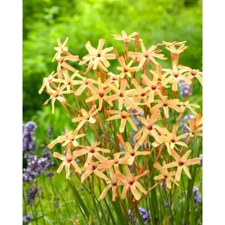 Ixia - Iksja Paniculata Eos - duża paczka! - 150 szt.