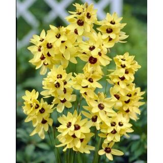 Ixia - Iksja Yellow Emperor - duża paczka! - 150 szt.