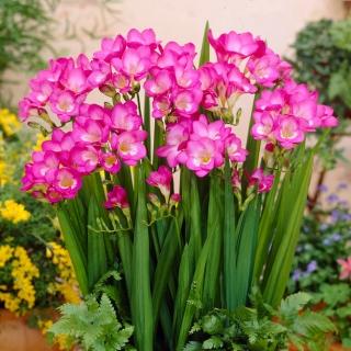 Frezja pojedyncza różowa - Pink - duża paczka! - 100 szt.