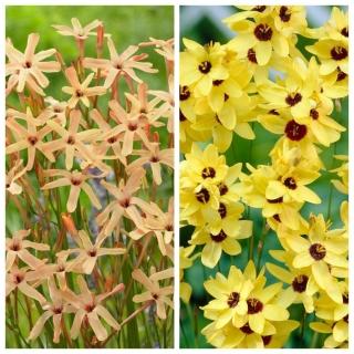 Ixia - Iksja - zestaw 2 odmian w kolorze żółtym i jasnopomarańczowym - 100 szt.