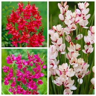 Ixia - Iksja - zestaw 3 odmian w różowych kolorach - 150 szt.