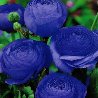 Jaskier niebieski - 10 szt.