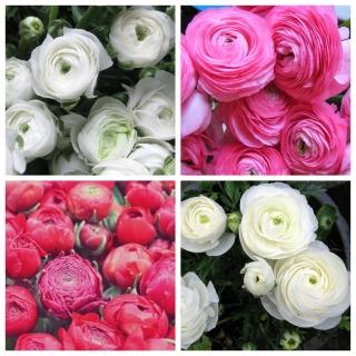 Jaskier różowy + jaskier biały - 100 szt.