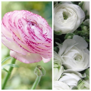 Jaskier Aviv Picotee Pink + jaskier biały - 100 szt.