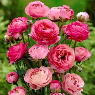 Jaskier różowy - 10 szt.