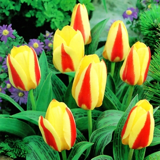 Tulipan Gluck  opak. 5 szt.