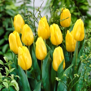 Tulipan żółty - Yellow - duża paczka! - 50 szt.