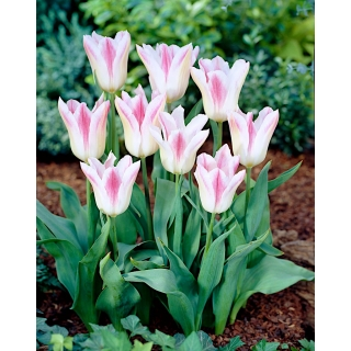 Tulipan Holland Chic - 5 szt.