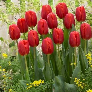 Tulipan czerwony - Red - duża paczka! - 50 szt.