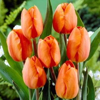Tulipan pomarańczowy - Orange - duża paczka! - 50 szt.