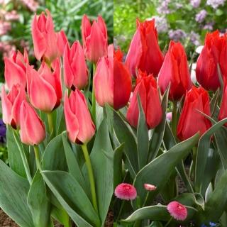 Valentino - zestaw 2 odmian tulipanów - 40 szt.