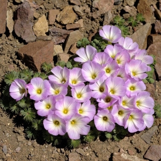 Szczawik chilijski - Oxalis Adenophylla - duża paczka! - 50 szt.